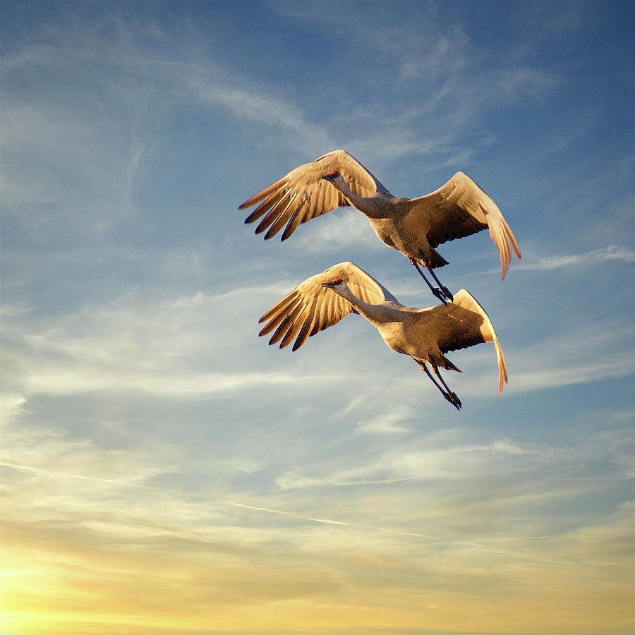 Synchronized Flight, Sandhill Cranes Photograph