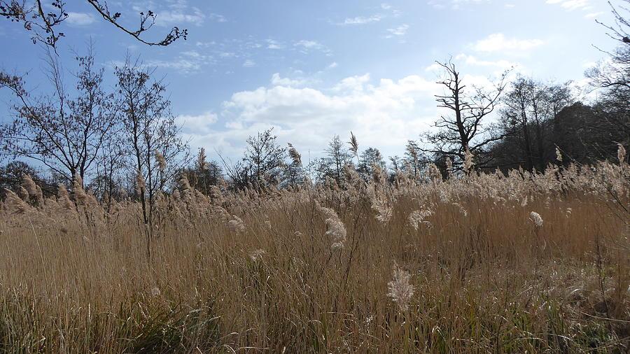 Tall Sunny Wetland Reeds Photograph