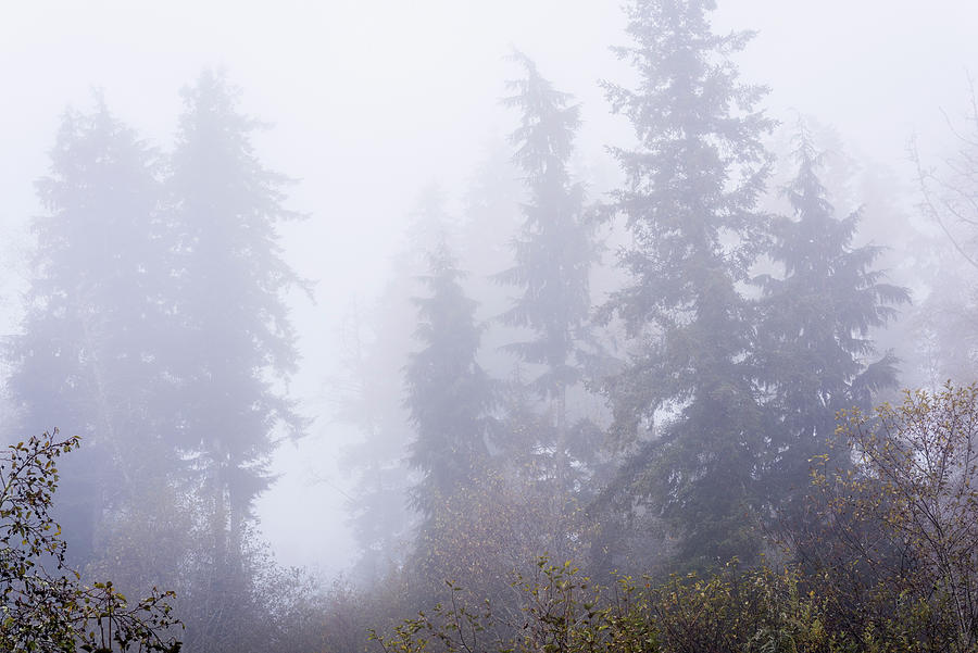 Tall Trees in the Fog by Robert Potts