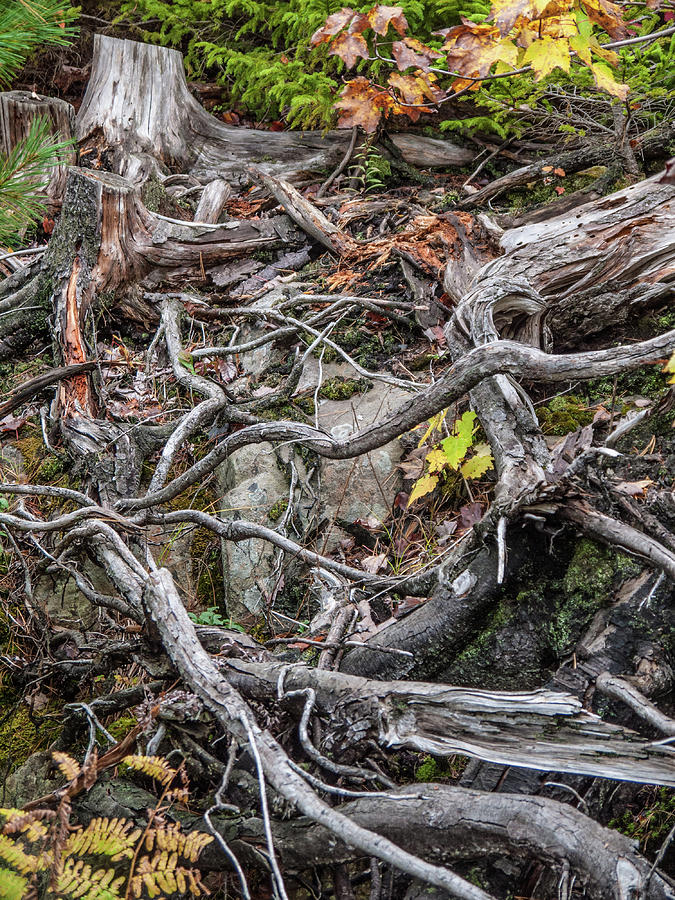 Tangle of Roots by Rob Huntley