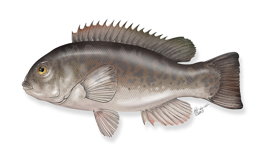 Tautog Blackfish Painting by Patrick Lynch