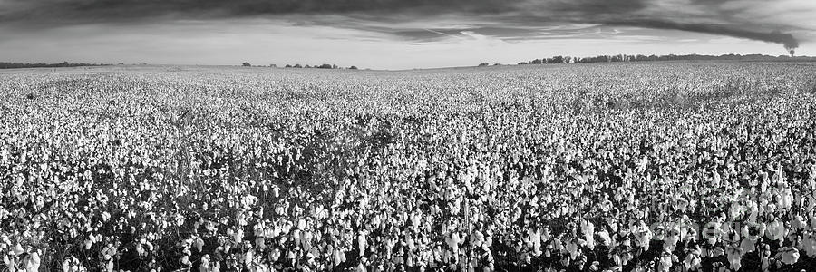 Tennessee Cotton Fields Panorama in Black and White by Ranjay Mitra