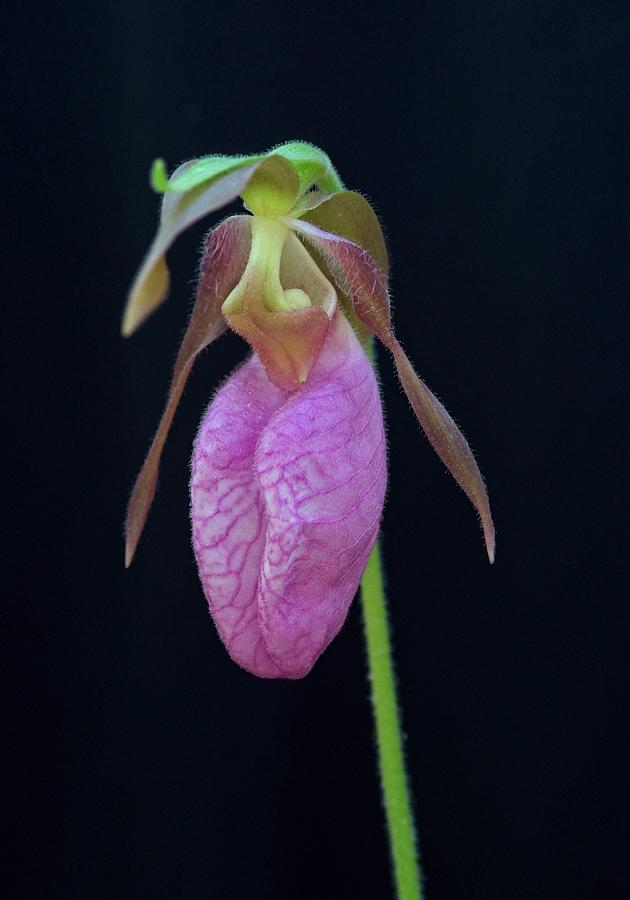 Tennessee Native Orchid Photograph