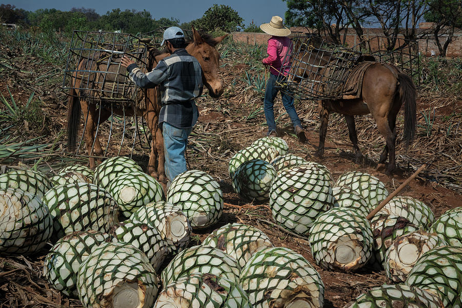 Tequila Photograph - Tequila Jimadores in Mexico by Dane Strom