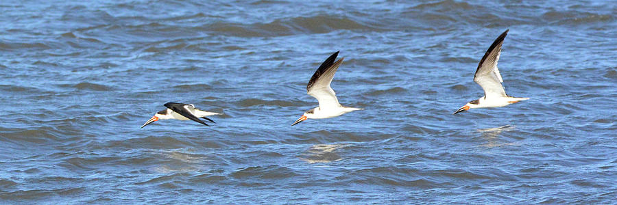 Terns in Flight by Jerry Griffin
