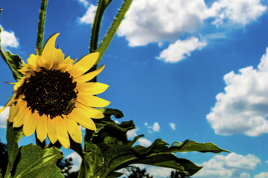 Smoke Photograph - Texas Sunflower by Peyton Vaughn