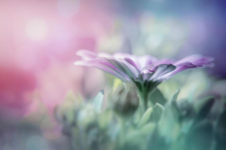 Textured Lavender Osteospermum In Pastel Shades Photograph