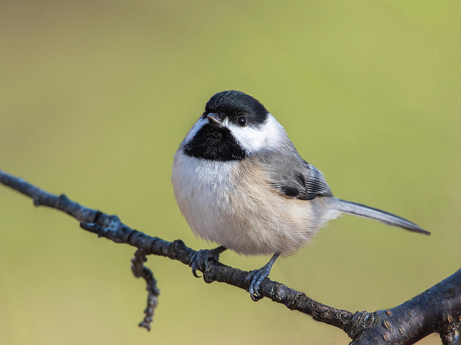 Thanksgiving Chickadee 2019 by Lara Ellis