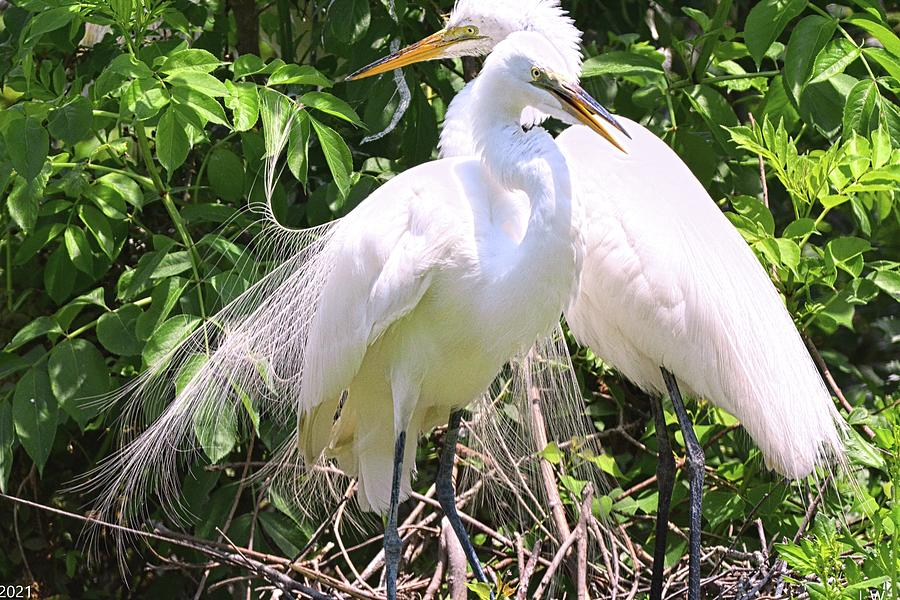 The Great Egret Photograph - The Adoring Egret Couple by Lisa Wooten