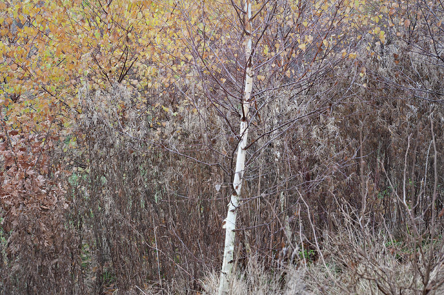The Avenue young Birch by Jerry Daniel