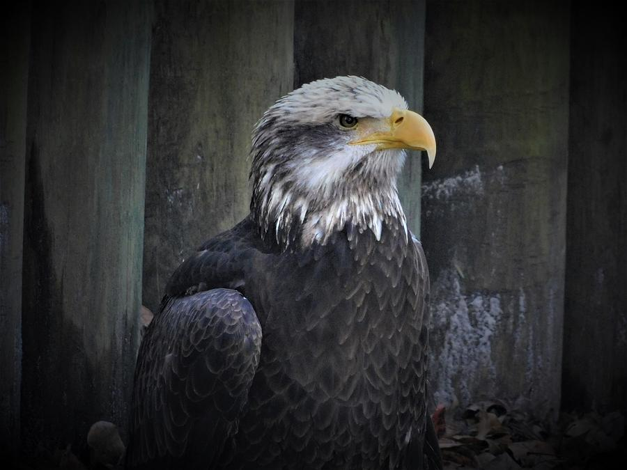 The Bald Eagle by Carl Moore