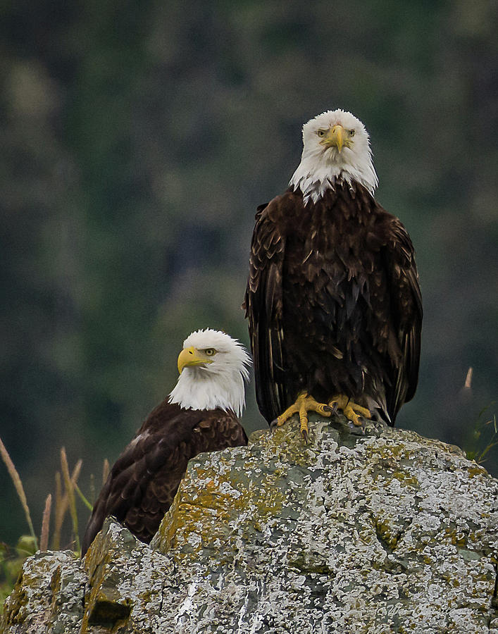 The Bald Eagle Selfie by William Christiansen