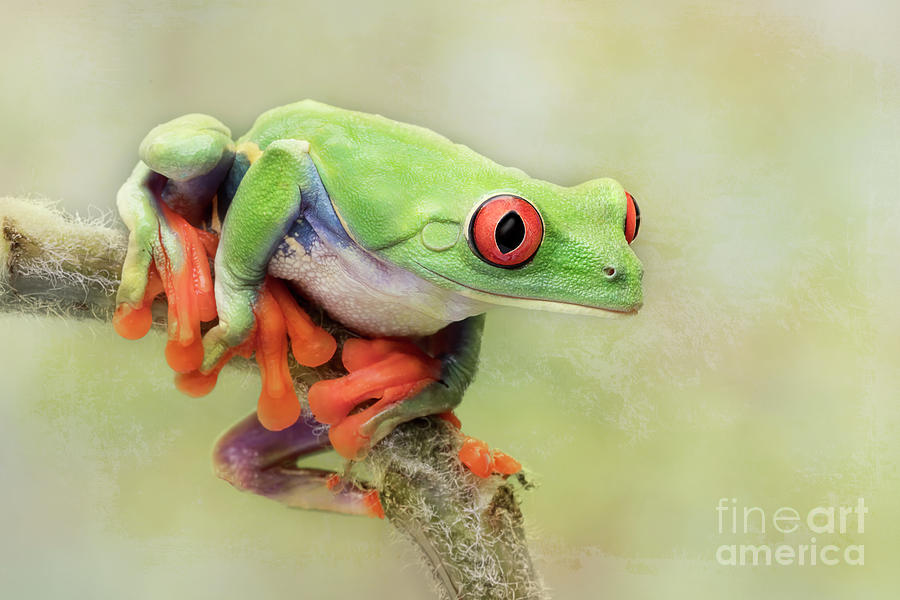 The Beautiful Red Eyed Tree Frog Photograph