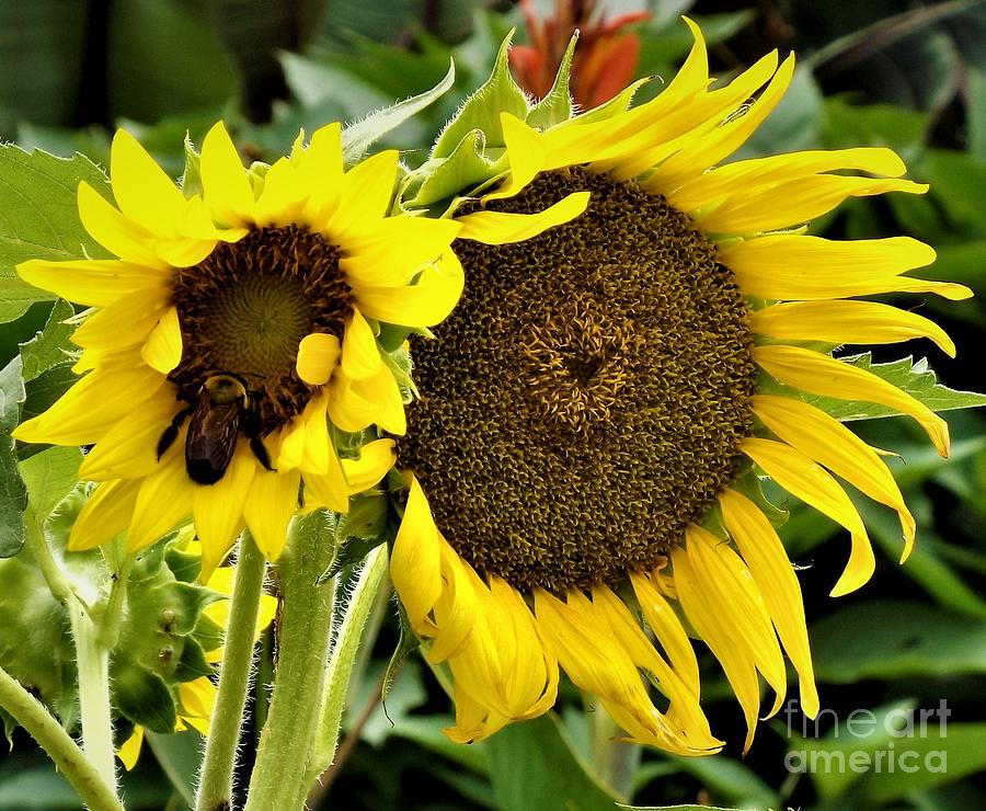 The Bee And Sunflower Photograph