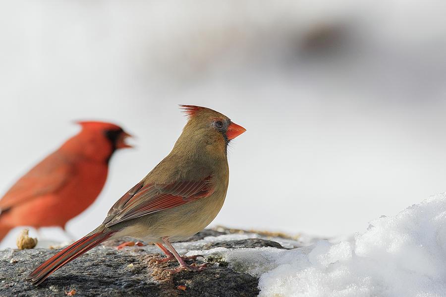 The Better Half - Female Northern Cardinal - cardinalis cardinal by Spencer Bush