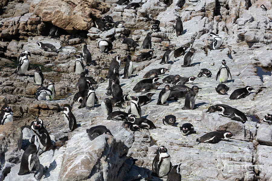 The Colony of African Penguins by Eva Lechner