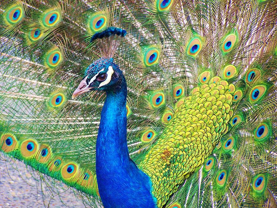 Peacock Photograph - The confident beauty by Daisy Spilker