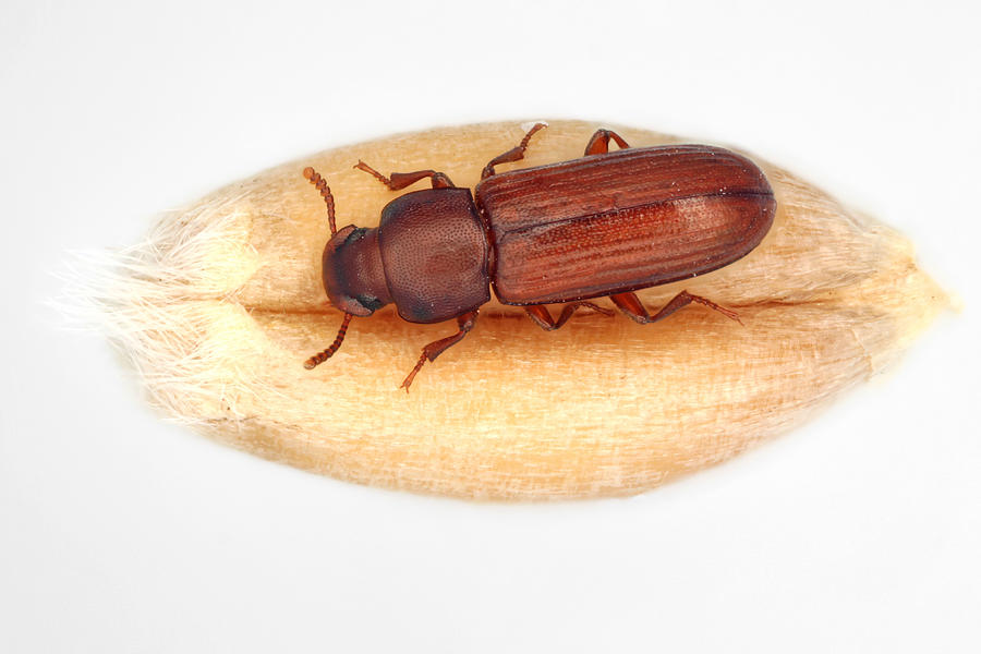 The confused flour beetle Tribolium confusum is a type of darkling beetle known as a flour beetle, is a common pest insect in stores and homes known for attacking and infesting stored flour and grain. Photograph by Tomasz Klejdysz