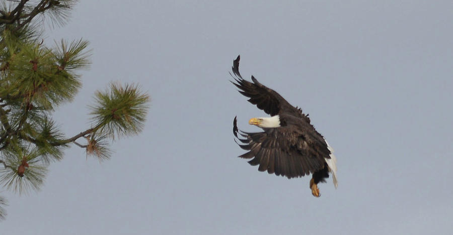 The Eagle Is Landing Photograph
