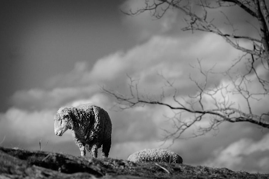 The Eeyore Of The Sheep World Photograph