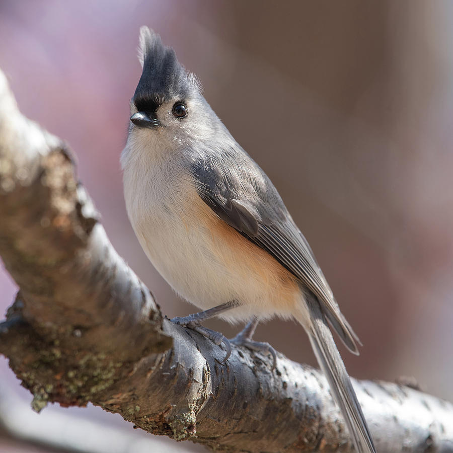 The Elegant Titmouse by Lara Ellis