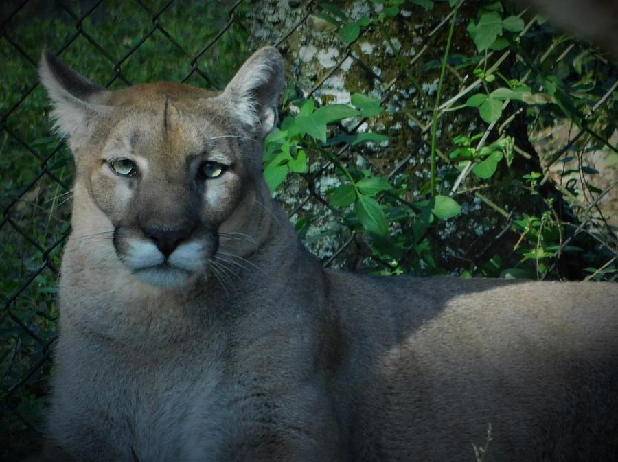The Florida Panther by Carl Moore