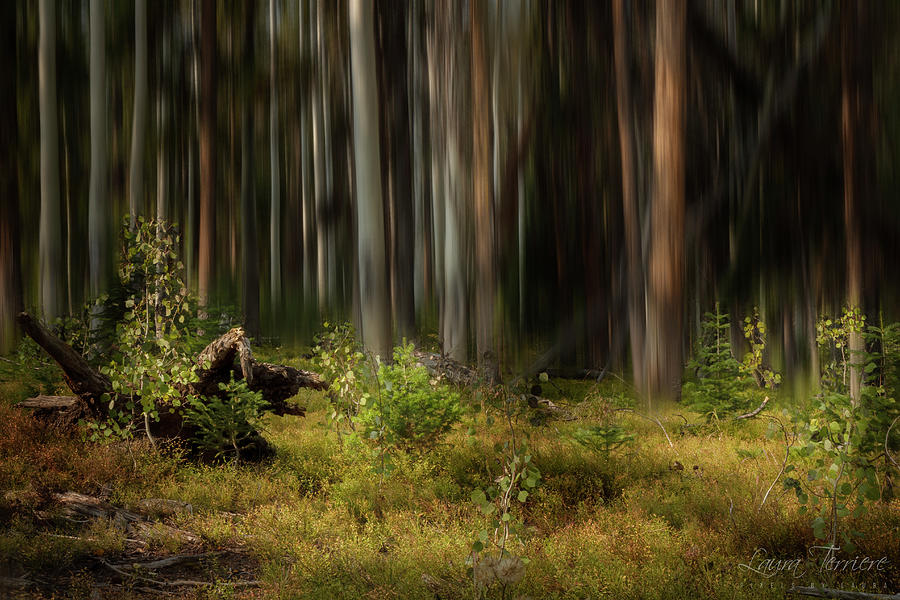 The Forest Photograph by Laura Terriere