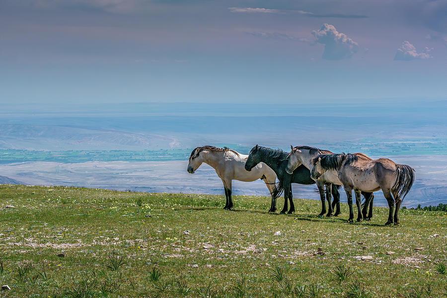 The Four Bachelor Mustangs of Pryor Mountain by Douglas Wielfaert