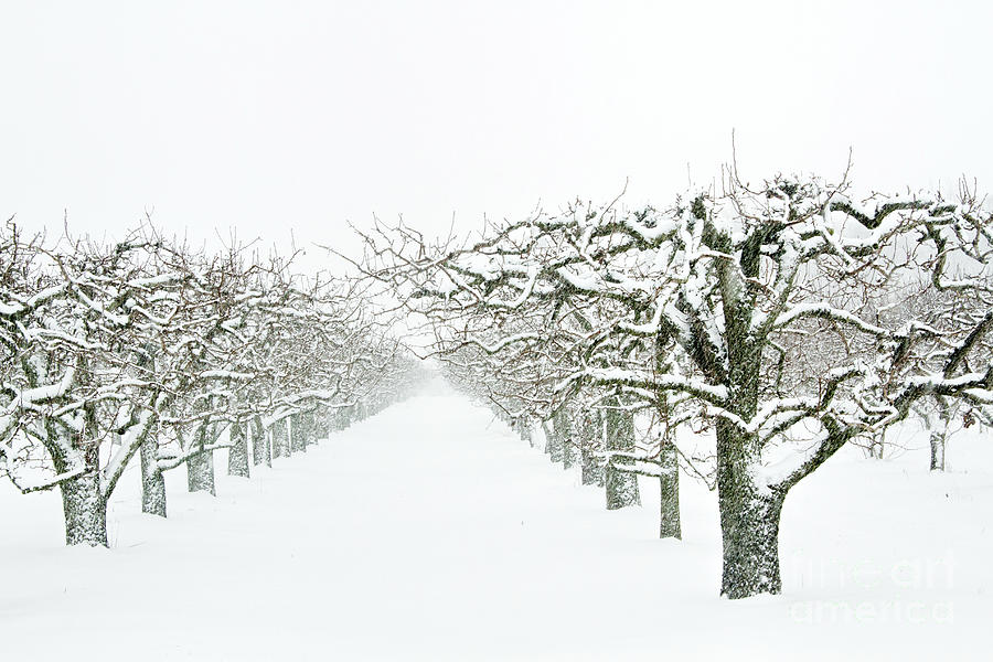 The Geometry of Winter Orchards Photograph by Marilyn Cornwell