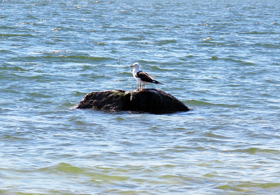 The Great Black-backed Seagull On The Watch Photograph