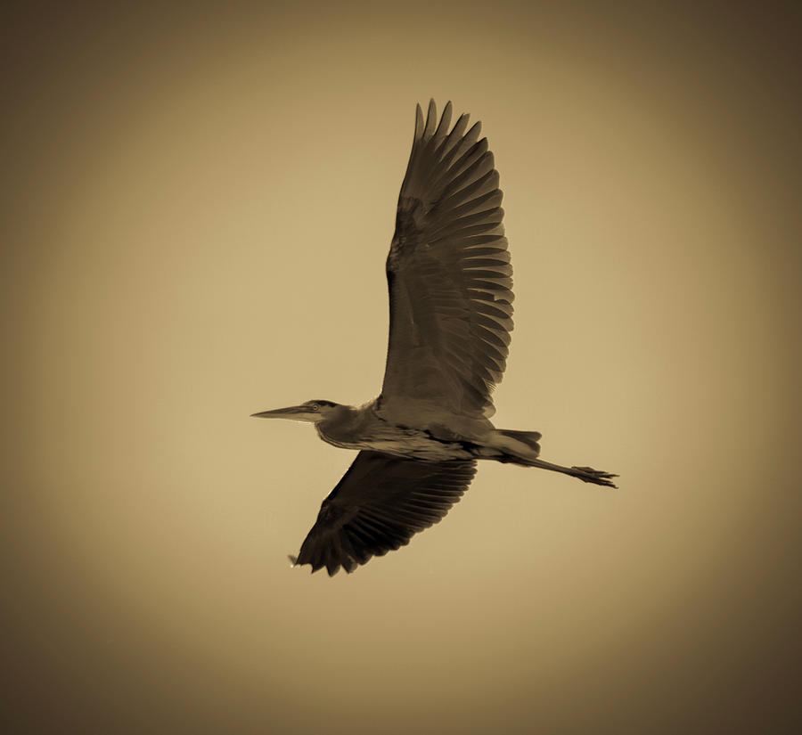 The Great Blue Heron Photograph