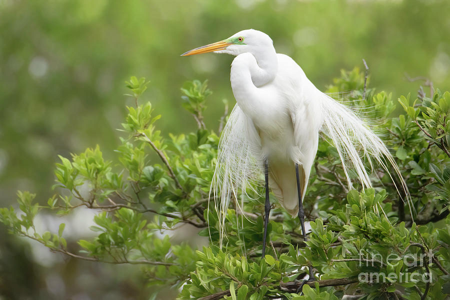 The Great White Egret Photograph