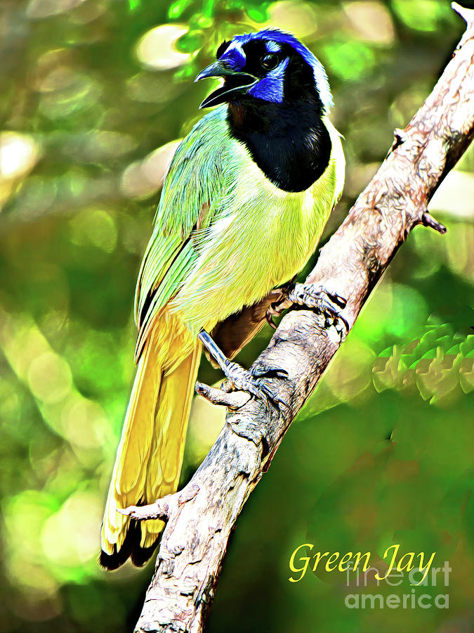 The Green Jay Of South Texas Photograph