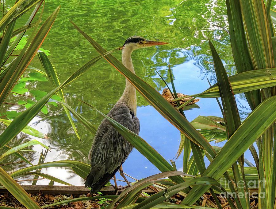 Heron Photograph - The Hunter by Leigh Kemp