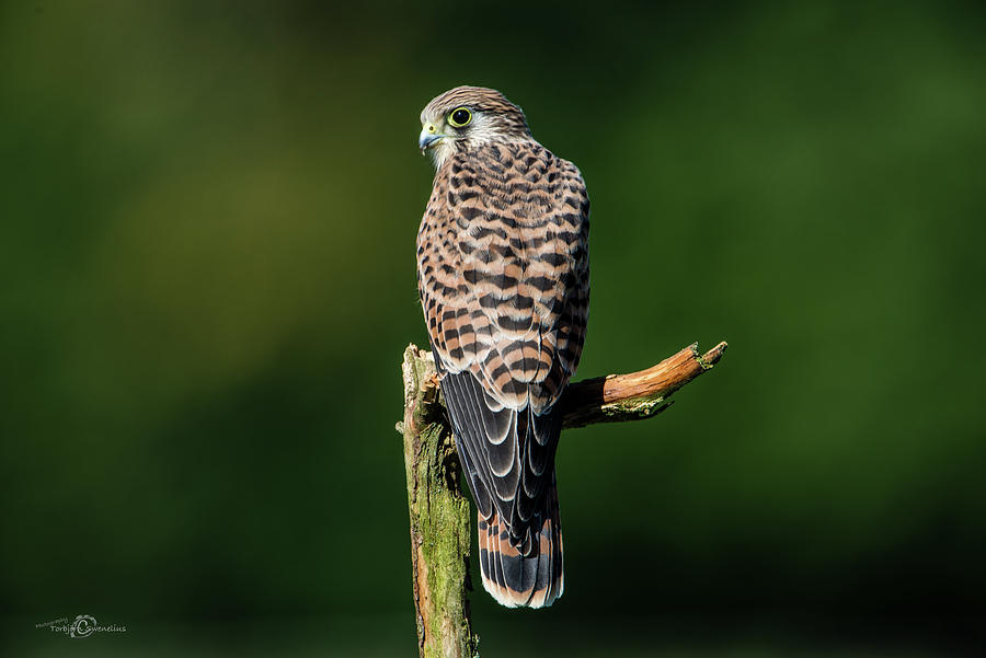 The Hunting Position For The Young Kestrel Photograph