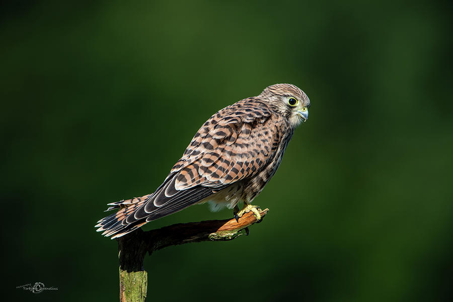 The Hunting Position In Profile For The Young Kestrel Photograph