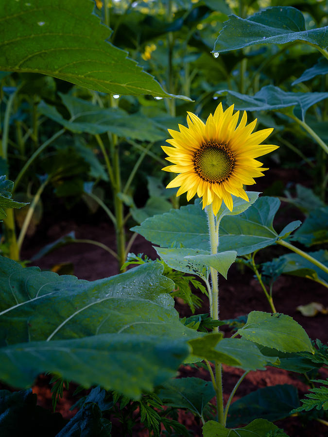 The Lonely Sunflower Photograph by Dennis Govoni