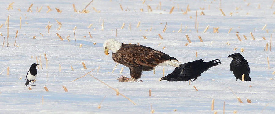 The Magpie, The Eagle And The Ravens Photograph