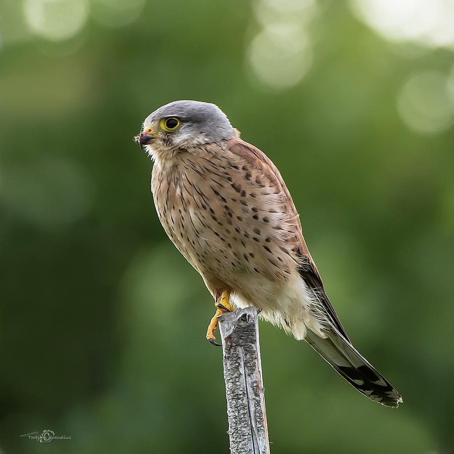 The Male Kestrel Hunting On Top Of A Round Pole Photograph