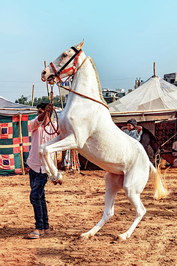 The Mawari Horse  by Kay Brewer