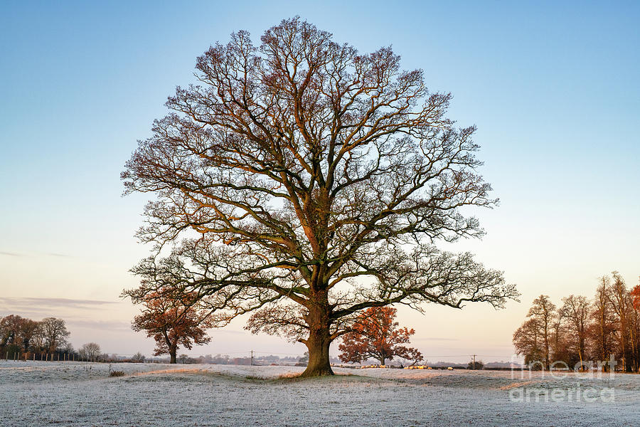 The Mighty Oak in the Frost by Tim Gainey