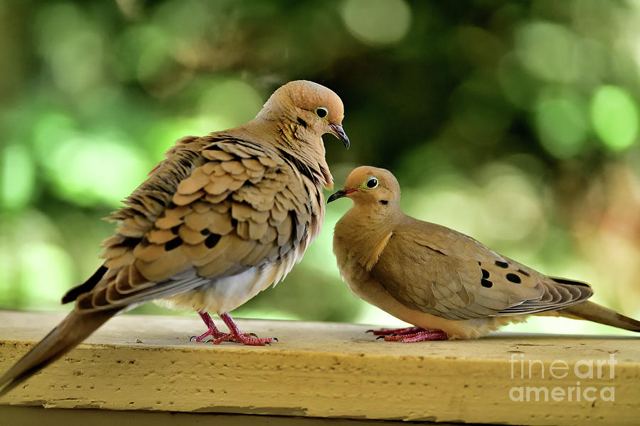 The Mourning Doves Mating - Before Foreplay Photograph