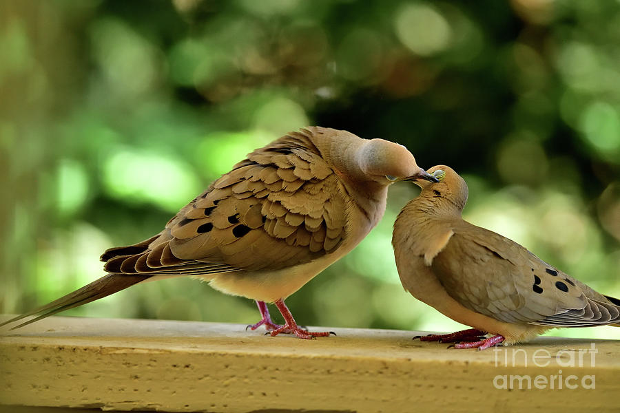 The Mourning Doves Mating -  Kissing On The Side Photograph
