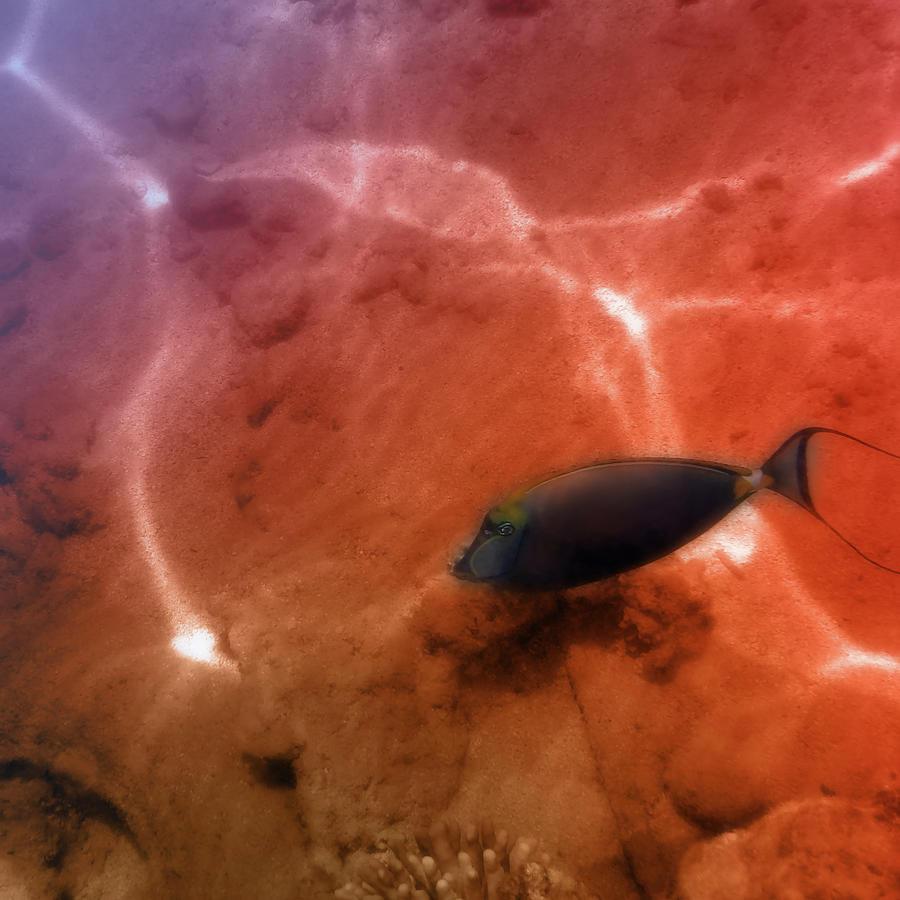 The Orangespine Unicornfish Closeup Photograph