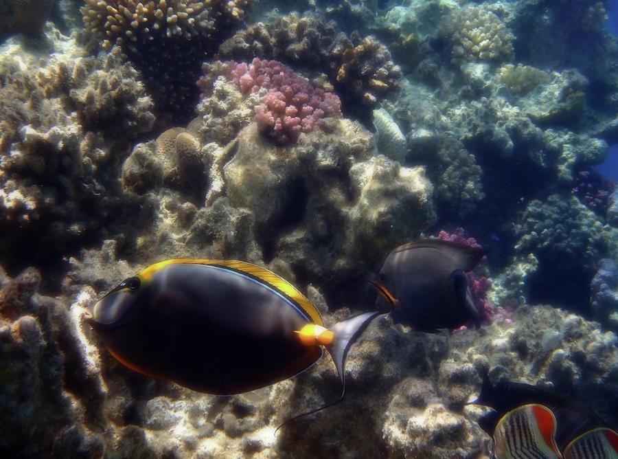 Underwater Photograph - The Orangespine Unicornfish by Johanna Hurmerinta