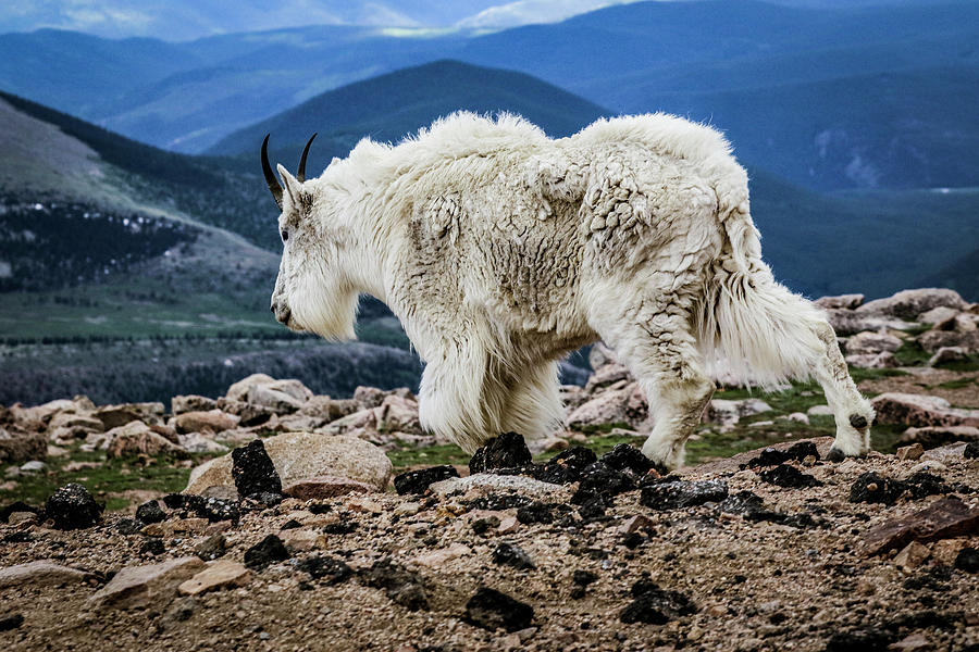Colorado Photograph - The other goat by Kamie Stephen