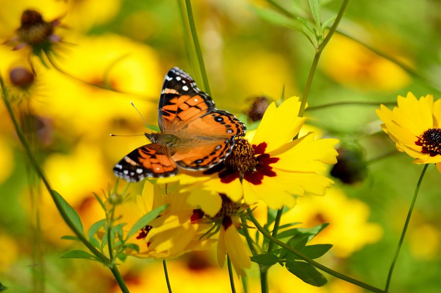 The Painted Lady Butterfly with Coreopsis by RD Erickson