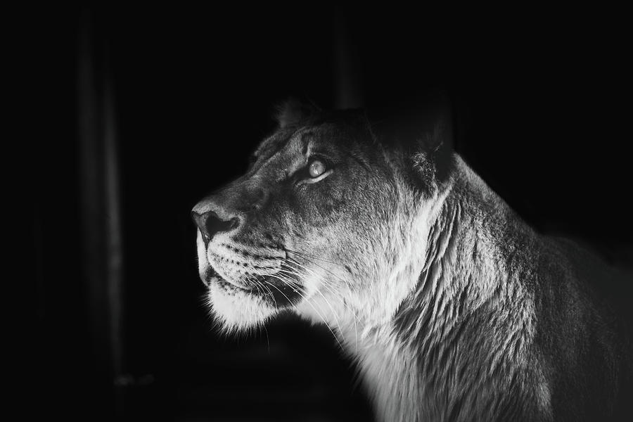 Lion Photograph - The Queen by Kamie Stephen