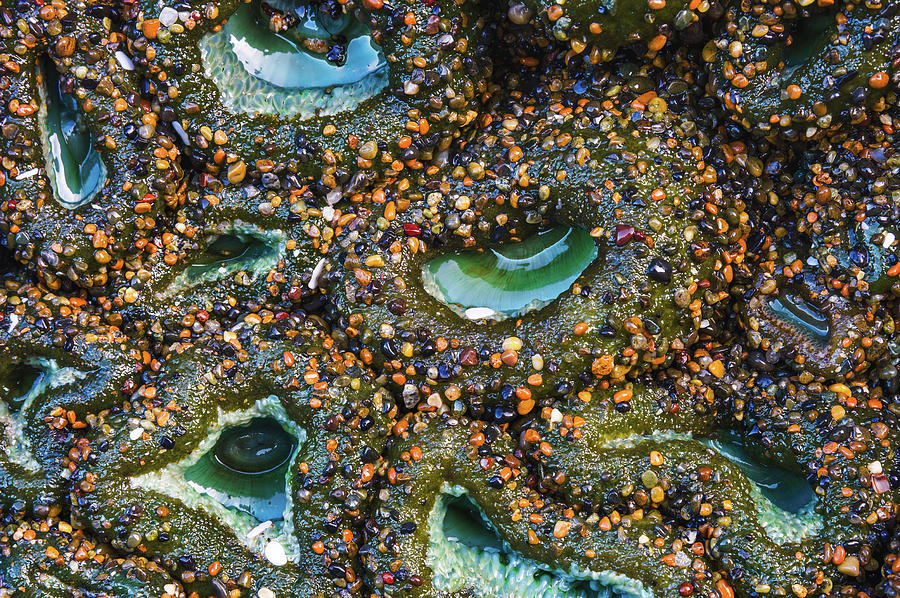 The Sandy Sea Anemone Photograph