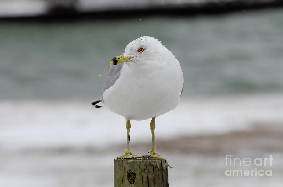 The Shore Lookout - Seagull in Snow by The Ford Family